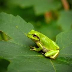 Kartierung und Monitoring für Amphibien