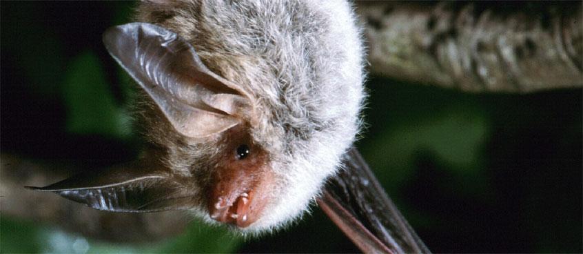 Faszination Fledermäuse - Bechsteinfledermaus