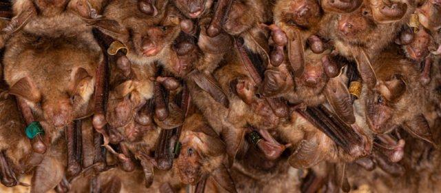 Einheimische Fledermäuse und SARS-CoV 2